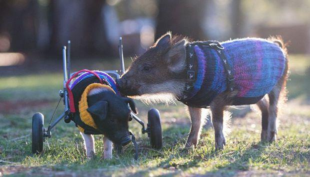 Rescued piglets at Edgar's Mission Farm Sanctuary